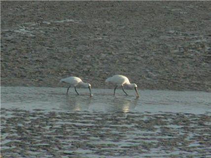 Royal Spoonbills feeding in the Estuary