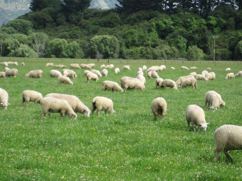 Sheep grazing around the cottage