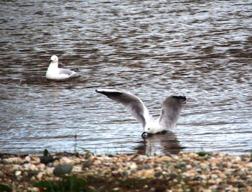 The Endangered Black Billed Gull can be observed on many rivers in Southland.